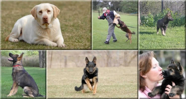 Zorra County K-9 Motivational Dog Training - The pictures show puppy classes, advanced classes, obedience and agility. - The collage illustrates the fun, purpose and responsibility strived for at Zorra County K-9.